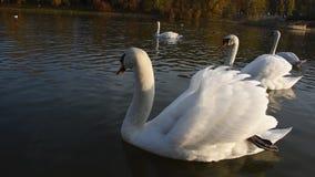 Vreedzame witte zwanen die op de rivier tijdens de herfstzonsondergang drijven stock footage