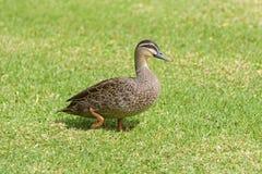 Vreedzame Zwarte Eend, die eend ploeteren, die op groen gras lopen in Ade Royalty-vrije Stock Afbeeldingen