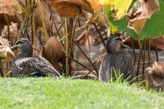 Vreedzame Zwarte Eend, die eenden ploeteren, die op groen gras dichtbij zitten Stock Foto's