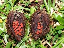 Vreemd fruit van een tropische boom, Vietnam royalty-vrije stock foto's