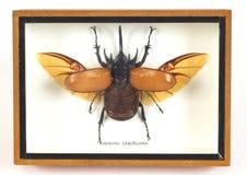 Vreemd vliegend insect Stock Afbeeldingen