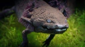 Vreemde amfibie met installatie-als kieuwen stock footage