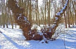Vreemde boom in het park Stock Afbeeldingen