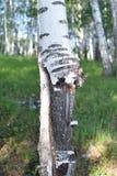 Vreemde, lelijke en vervormde berk in bosclose-up stock afbeelding
