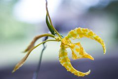 Vreemde Orchidee Royalty-vrije Stock Afbeelding