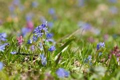 Våren blommar den Scilla bifoliaen Arkivbild