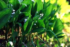 Våren blommar den vita liljekonvaljen Royaltyfri Fotografi