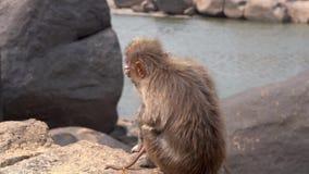 Vreselijke aap die aan een ziekte lijden stock video
