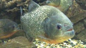 Vreselijke piranha's 002 stock videobeelden