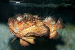Vreselijke stonefish (synanceiahorrida) Royalty-vrije Stock Afbeeldingen