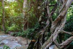 Vriden för djungelvinrankor för lös lian stor växt med mossa, lav och Fotografering för Bildbyråer