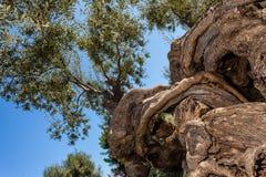 vriden tree Royaltyfri Bild