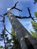 vriden tree Arkivbilder