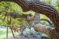 Vridet av ett träd Arkivfoto