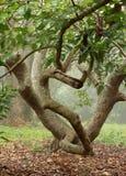 Vridet avokadoträd fotografering för bildbyråer