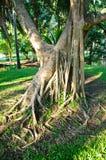 Vridet rotar av gammalt träd Arkivbild