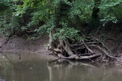 Vridet rotar vid floden royaltyfria bilder