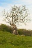 Vridet träd i sommaräng Arkivfoton