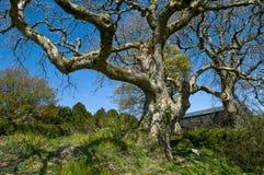 Vridet träd i vinter fotografering för bildbyråer