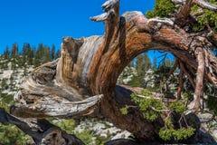 Vridet träd på den Yosemite nationalparken Arkivfoto