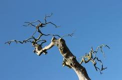 Vridna filialer av det döda trädet Arkivfoton