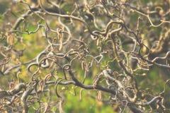 Vridna filialer av ett kalt träd på dimmig dag Arkivbild
