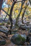 Vridna träd och Autumn Gold Arkivfoton