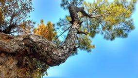 Vridning av trädet Arkivbild