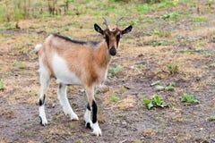 Vriendelijkere geit Stock Foto
