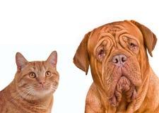 Vrienden. Het portret van de close-up van bruine kat en hond Royalty-vrije Stock Fotografie