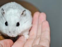 Vriendschap tussen een mens en een hamster, een hamster wat betreft de menselijke hand van ` s en het kijken in de ogen stock afbeelding