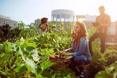 Vriendschappelijk team die verse groenten van de tuin van de dakserre oogsten en oogstseizoen op digitaal plannen stock foto's