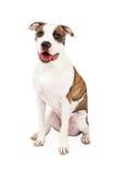 Vriendschappelijke Amerikaanse Staffordshire Terrier Hondzitting Royalty-vrije Stock Foto's