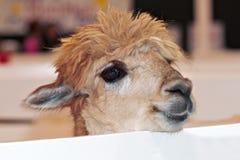 Vriendschappelijke babyalpaca die over omheining kijkt Stock Afbeeldingen
