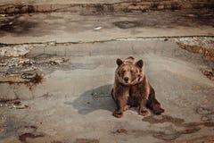 Vriendschappelijke bruin draagt zittend in de dierentuin Stock Afbeeldingen