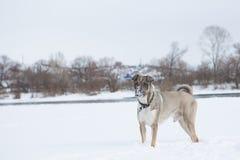 Vriendschappelijke hond om op sneeuw in de winterpark te lopen Royalty-vrije Stock Afbeeldingen