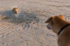 Vriendschappelijke honden op Koh Larn Royalty-vrije Stock Foto