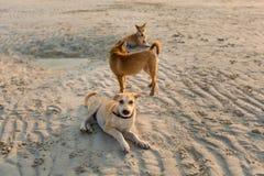 Vriendschappelijke honden op Koh Larn Stock Afbeelding