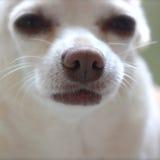 Vriendschappelijke koude natte hondneus Stock Afbeeldingen