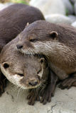Vriendschappelijke Otters Stock Fotografie