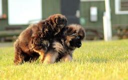 Vriendschappelijke puppystrijd Stock Foto's