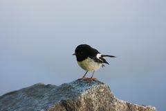 Vriendschappelijke Robin, Nieuw Zeeland Stock Foto's