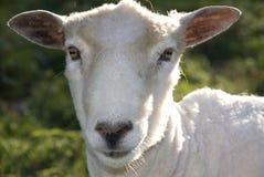 Vriendschappelijke schapen Royalty-vrije Stock Afbeelding