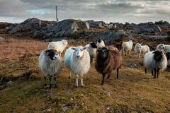 Vriendschappelijke Schapen, Connemara, Ierland Royalty-vrije Stock Fotografie