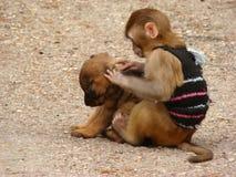Vriendschapsaap en een puppy Royalty-vrije Stock Foto's