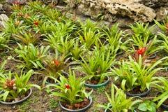 Vriesea Platynema Pineapple plant. Royalty Free Stock Images