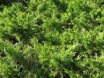 Vrij Altijdgroene Bladeren in Maart stock afbeelding