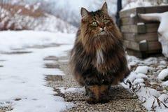 Vrij bruin-zwart Noors Forest Cat op een voetpad Stock Afbeelding