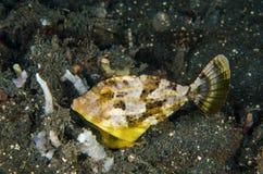 Vrij duiken lembeh varkenshaar-de steel verwijderd van Indonesië filefish royalty-vrije stock foto's