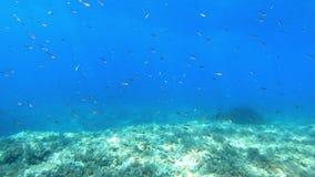 Vrij duiken in Majorca - Kleine vissen in zeer blauw water stock video